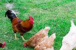 الدجاج علاج فعال ضد الانفلونزا ....محمد صالح ياسين الجبوري
