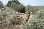 مستوطنون يقطعون 60 شجرة زيتون في بيت لحم