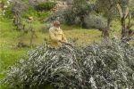 مستوطنون يقتلعون أشجار زيتون جنوب نابلس