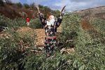 مستوطنون يرتكبون مجزرة بحق ألف شجرة زيتون شرق نابلس