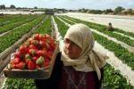 تصدير فراولة وزهور لأوروبا وإدخال بضائع ومواد بناء وغاز طهي لغزة