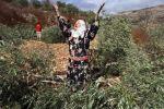 مستوطنون يحطمون أشجار زيتون في قرية قصرة بنابلس