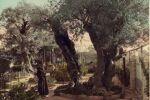 «عمرها 900 عام: زيتون حديقة الجثمانية بالقدس من أقدم الزيتون في العالم»
