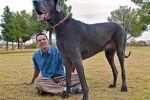 وفاة «جورج العملاق».. أطول كلب في العالم