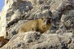 دعوة لحماية حيوان 'وبر الصخر' في محافظة جنين