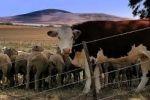 الزراعة تسيطر على مرض الحمى القلاعية في الأبقار والأغنام