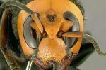 هذا هو الدبور الذي قتل 19 صينيا في ثلاثة شهور