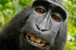 نزاعات قضائية بسبب 'سيلفي القرد'
