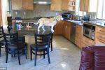 بالصور والفيديو.. الجوع يظهر عبقرية كلب في مطبخ