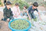 الخليل: إطلاق حملة لمساندة المزارعين في قطف ثمار الزيتون