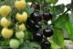 إنتاج أول طماطم بـ