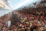 طبيب أمريكي يحذر.. فيروس جديد قد يقتل نصف سكان العالم ينشأ من مزارع الدجاج