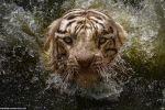 شاهد .. مصوّراً إندونيسياً يغامر بحياته أمام نمر بنغالي والنتيجة .. صور ساحرة