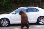 فيديو طريف لدب يحاول فتح سيارة وإخراج قائدها وزوجته