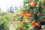 قرار إسرائيلي جديد ضد المنتجات الزراعية الفلسطينية