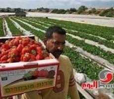 تصدير شاحنة توابل خضراء من غزة لأوروبا