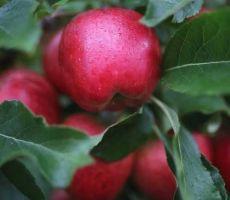 تعرف إلى 'أغلى ' تفاحة عادية بالعالم