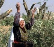مستوطنون يقتلعون 550 شتلة زيتون شمال شرق الخليل
