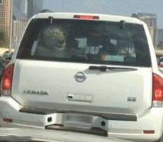 بالفيديو.. أسد داخل سيارة في شوارع دبي