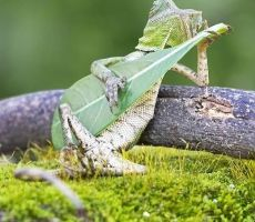 صورة طريفة .. سحلية تعزف الجيتار في إندونيسيا