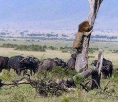 شاهد.. أسد يتسلق شجرة للهروب من قطيع جاموس غاضب