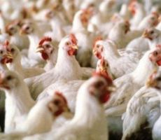 السماح باستيراد دجاج مجمد إلى غزة