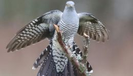 الرحلة الملحمية لطائر الواقواق التي اذهلت العلماء