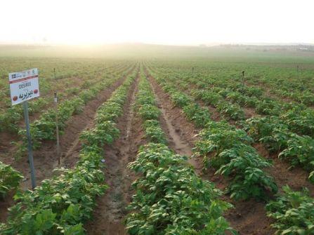 تقرير :غزيّون ينجحون في إنتاج أصناف جديدة من البطاطس