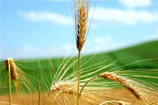 البذور السورية تنقذ محاصيل القمح في الولايات المتحدة