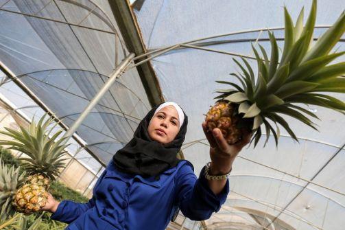 يديعوت: أناناس طوكرم 'الأناناس الذي سيجلب السلام' يبشر بتخفيض أسعار الفاكهة في إسرائيل