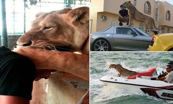 بالفيديو.. الأسود والنمور رمز للثراء في الخليج