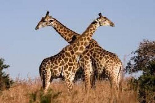 زرافة كورية تحقق رقماً قياسياً بولادتها أطول حيوان في الأرض