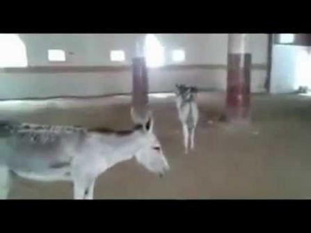 بالفيديو .. السعودية : حمير داخل مسجد في جازان !