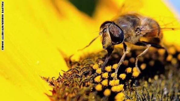 ماذا سيحل بالبشرية إذا اختفى النحل؟