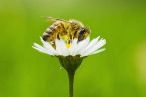 النحل بحاجة لـ