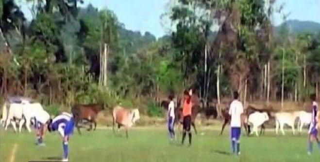 بالفيديو.. قطيع من الأبقار يقتحم ملعب كرة قدم في البيرو