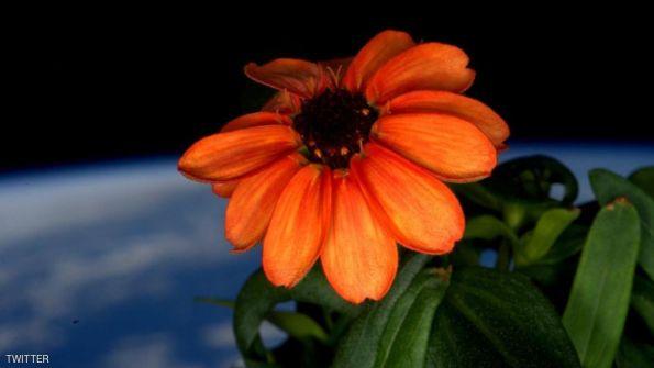 أول وردة تزهر في الفضاء