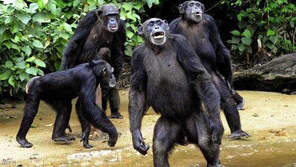 بأمر المحكمة: الشمبانزي 'ليس بشرا'