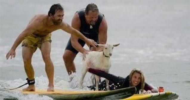 طريقة جديدة لتدليل الحيوانات.. بالصور.. الماعز تركب الأمواج فى كاليفورنيا