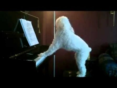 كلب فنان يعزف على البيانو ويغني