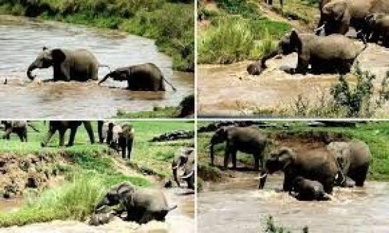 بالفيديو.. الفيلة الأم تنقذ صغيرها من الغرق بخرطومها
