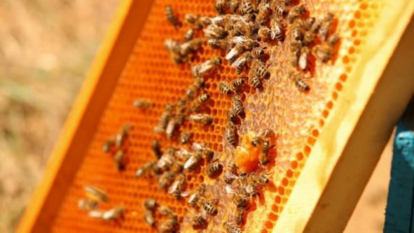 مصر تنظم أول مهرجان لعسل النحل ومنتجاته