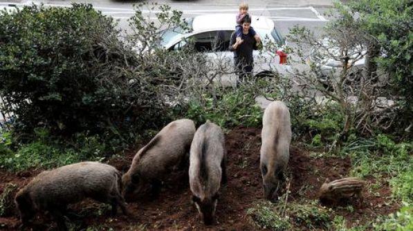 مصائب الكورونا عند الخنازير  فوائد!