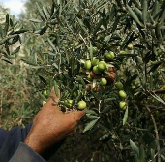 الهيئة العامة الفلسطينية للكتاب تفتتح فعالية قطف وجني ثمار الزيتون