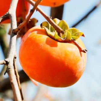 اكتشاف مادة في فاكهة الـ 'كاكا' تطيل عمر الإنسان وتحارب الشيخوخة